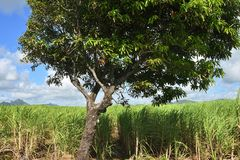 Sugarcane at Mauritius island stock image