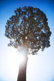Big tree on sun and blue sky background Royalty Free Stock Images