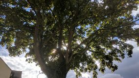 Big tree sun dapple royalty free stock image
