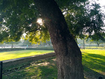 Big tree and sunbeams. Sunbeams shining through a dense tree in the garden Stock Photography