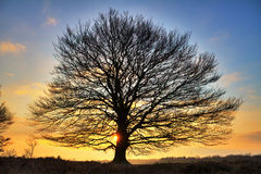 Big tree sunrise Stock Photography
