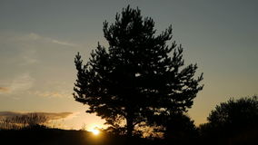 Big tree at sunset in silhouette standing on the sand stock video footage