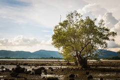 Big tree in a swampland Royalty Free Stock Images