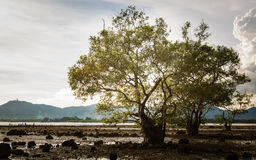 Big tree in a swampland Stock Image
