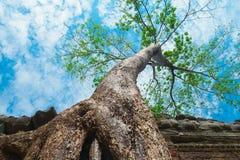 Big tree in Ta Prohm Temple, Angkor Wat Royalty Free Stock Photo