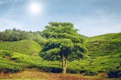 Big tree on tea plantation Stock Photos