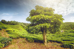 Big tree on tea plantation Royalty Free Stock Images