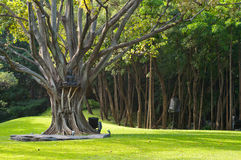 Big tree in a temple garden Royalty Free Stock Image