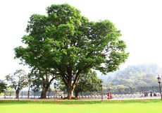 The big tree in the Temple of Tooth relic Royalty Free Stock Image
