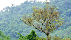 Big tree with tree mountain background Royalty Free Stock Photography