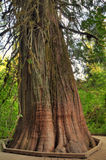 Big tree trunk. Very ancient douglas fir tree with huge trunk at Rainier national park Royalty Free Stock Photography