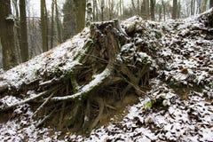 Big tree trunk Stock Photography