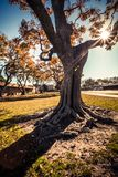 A big  tree trunk of Long Beach Royalty Free Stock Photos