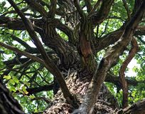 A big tree trunk with a lot of branches and green foliage on the top stock images