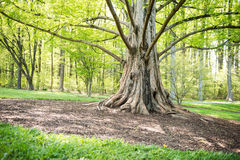 Big tree. Big trunk  tree showing some root on the ground with branches all around Royalty Free Stock Photos