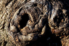 Big Tree Trunk with Twirl Formations Royalty Free Stock Photography
