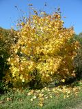 The big tree turned yellow, it seems golden in the sun. Yellow maple lisva forms a carpet under the trees. In autumn the leaves dry, turn yellow in the sun Royalty Free Stock Photos