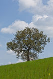 Big tree in tuscany. Big tree in full leaf in summer standing alone in a field against a steel grey stormy sky Stock Image