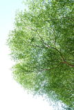 The big tree under sky. In summer the sun light Royalty Free Stock Photography