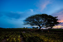 Big tree under sunset Stock Photo