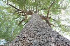 Big tree up to top view, Very few large trees remaining in the wild today Stock Images