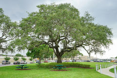 A big tree in USF campus Royalty Free Stock Images