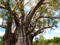 Big Tree - Victoria Falls, Zimbabwe. Big Tree - huge baobab in Victoria Falls, Zimbabwe Royalty Free Stock Photography