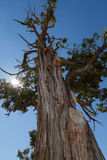 Big Tree. A view of a tree near the grand canyon Stock Image