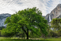 Big tree with a waterfall at the background in Yosemite National Royalty Free Stock Photography