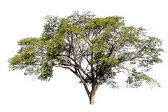 Big tree on white background, clipping paht. Royalty Free Stock Photo