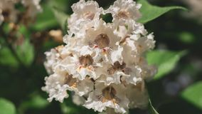 Big tree with white flowers. Flowers catalpa or catawba. East Asia and North America flowering plants.  stock image