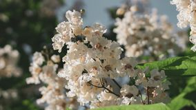Big tree with white flowers. Flowers catalpa or catawba. East Asia and North America flowering plants.  stock photos