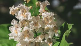 Big tree with white flowers. Flowers catalpa or catawba. East Asia and North America flowering plants stock photography