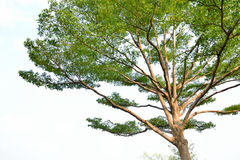 Big tree. With white sky Royalty Free Stock Photos