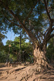 Big tree with wood swing Royalty Free Stock Photography