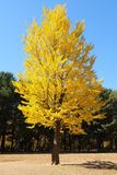 The big tree in yellow leaves in the garden at Nami Island korea stock image