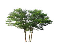 Free Big Trees Royalty Free Stock Photography - 31019587