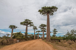 Big Trees in Avenue de Baobab - Madagascar Stock Image