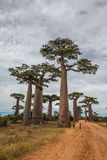 Big Trees in Avenue de Baobab in Madagascar Stock Photo