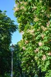 Chestnut trees bloom in a public garden in the city. Big trees bloom in the park stock photos