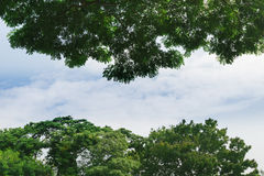 Big Trees with Blue Sky Stock Image