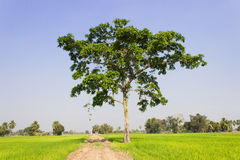 A big trees in the field Royalty Free Stock Image