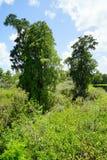 Big trees in florida. Big trees in Lettuce lake, taken in Tampa, florida royalty free stock photos
