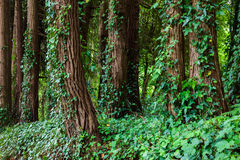 Big trees with ivy lianas in forest Stock Images