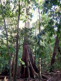 Big trees in the jungle Stock Photography
