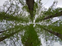 Big trees. Nature green spring sunsine forest sky royalty free stock photography