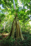 Big trees on nature trail at Thung Salaeng Luang National Park,Phitsanulok,Thailand Stock Photography