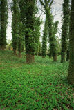 Big trees in park covered in ivy Royalty Free Stock Photo