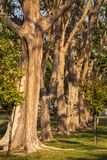 Big trees in the park Royalty Free Stock Photography
