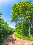 Big trees beside the road Royalty Free Stock Photography